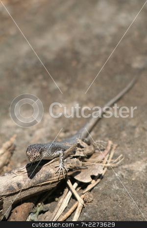 Mabuia Lizard stock photo, A Mabuia Lizard (Mabuya Maculata) in Fernando de Noronha, Brazil. by Daniel Wiedemann