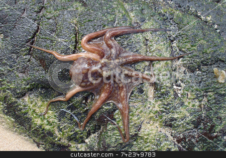 Octopus stock photo, A small, red/purple octopus. by Daniel Wiedemann