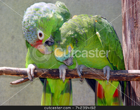 Red_Lored_Amazon stock photo, One parrot grooming the other by Jack Schiffer