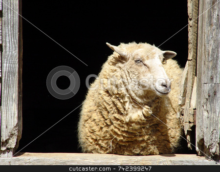 Sheep stock photo, Sheep looking out of window by Jack Schiffer