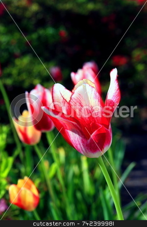 Spring Tulips stock photo, Spring multi colored tulips in bloom by Jack Schiffer