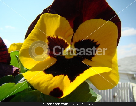 Lovely pansy face flower stock photo,  by CHERYL LAFOND
