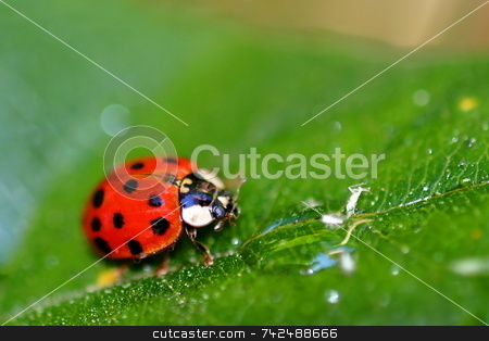 Lady Bug 6408 stock photo, Coccinellids or ladybugs are small insects and are found worldwide with over 5000 species. by Henrik Lehnerer