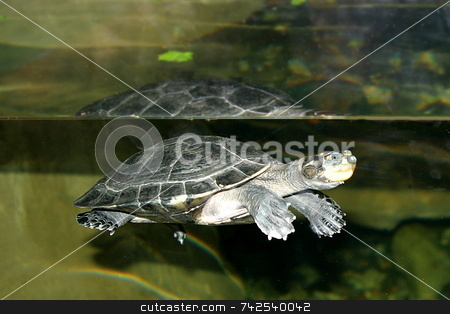 Turtle stock photo, Turtles are reptilians of the Order Testudines, most of whose body is shielded by a special bony or cartilaginous shell developed from their ribs. by Henrik Lehnerer