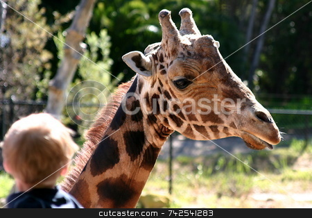 Baringo Giraffe 4754 stock photo, The Rothschild Giraffe also known as the Baringo Giraffe or as the Ugandan Giraffe is one of the most endangered giraffe subspecies. by Henrik Lehnerer