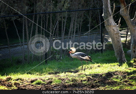 East African Crowned Crane 4717 stock photo, The Grey Crowned Crane is a bird in the crane family Gruidae by Henrik Lehnerer