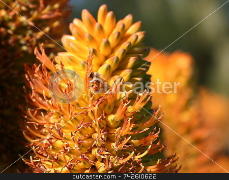 Bee 4739 stock photo, A bee in front of some beautiful orange flowers by Henrik Lehnerer
