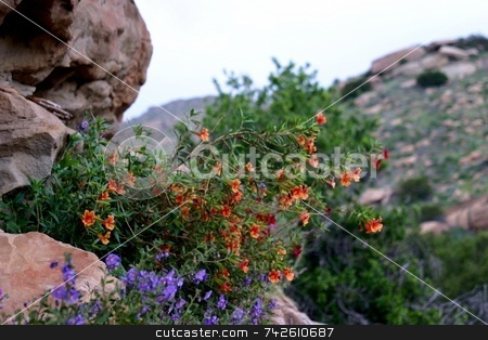 Wildflowers 6353 stock photo, Wildflowers in the Santa Susana Mountains by Henrik Lehnerer