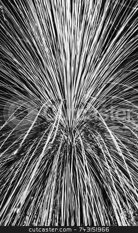 Pampas Grass Abstract stock photo, An abstract black and white photograph of pampas grass by Philippa Willitts