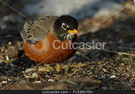 Robin Waiting stock photo, A lone Robin, in search of food, appears to be listening for a worm in the ground.  Many midwesterners view the Robin as a sure sign the season is changing when they see their first Robin of the year. by Dennis Thomsen
