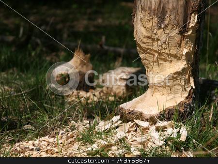 Beaver tree stock photo, Beaver tree by Kjell Westergren
