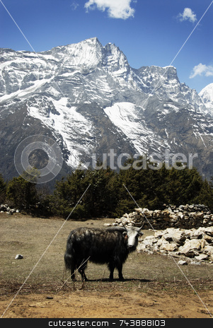 Yak in Himalayas stock photo, Yak in Nepal Himalayas by A Cotton Photo