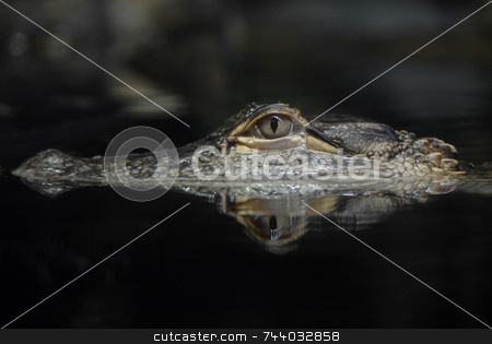 American Alligator Reflection stock photo, American Alligator by A Cotton Photo