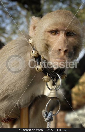 Captive Monkey stock photo, Rhesus Macaque (Monkey) - Macaca mulatta in India by A Cotton Photo