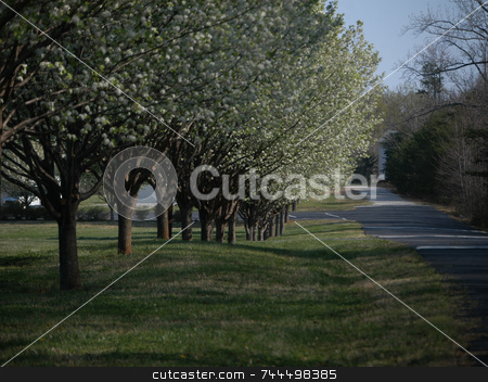 Tree lined road stock photo, A tree lined road in full bloom during the spring by Tim Markley