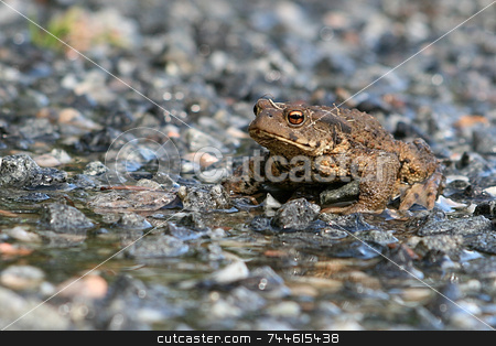 Toad stock photo,  by Kjell Westergren