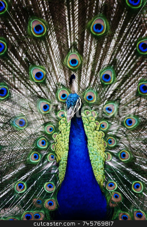 Peacock stock photo, Male peacock displaying his colorful tail feathers. by Scott Griessel