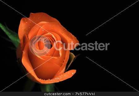 Single red rose stock photo, Single red rose on black background. rose to left of image by Stefan Edwards