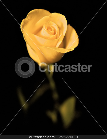 Single yellow rose with dark surround stock photo, A  single yellow rose with faded stem and leaves in a dark surround by Stefan Edwards