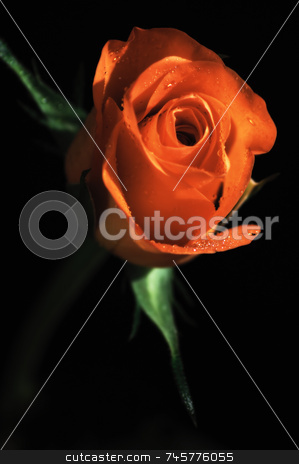 Single Red Rose stock photo, Red rose on black background.  upright format with rose to top of image by Stefan Edwards