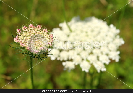 Queen Anne's Lace Flower stock photo, Queen Anne's Lace (Daucus carota), a member of the parsnip family, by Jack Schiffer