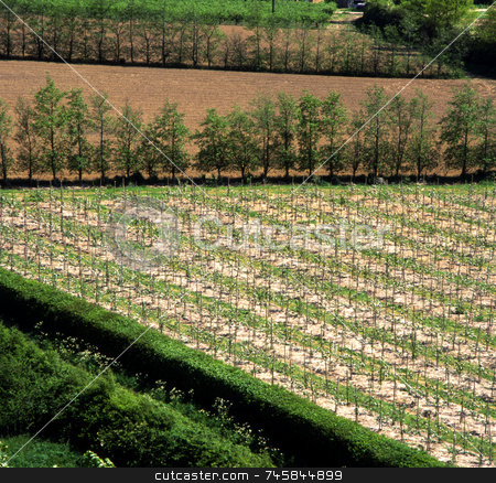 Tree Farm stock photo, Young trees growing in a field of a tree farm by Paul Phillips
