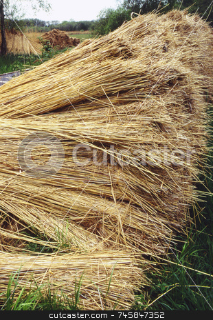 Reeds by the riverbank stock photo, Reeds gathered by a riverbank for thatching by Paul Phillips