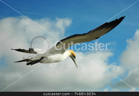 Gannet in the sky stock photo, Beautiful yellow head bird flying in blue sky by Irina Yun