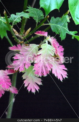 New Spring Oak Leaves stock photo, New Oak leaves with a red coloring. by Lynn Bendickson