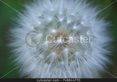 Giant White Dandelion stock photo, A single giant dandelion seed head. by Lynn Bendickson