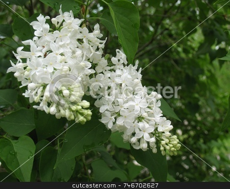 Fiala Remembrance Lilac stock photo, This is an image of large clusters of extremely fragrant, double white flowers open from creamy yellow buds. Medium green foliage exhibits good disease-resistance. Ideal flowering hedge or specimen by Ray Carpenter