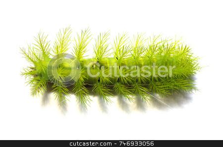 Scary Green Caterpillar stock photo, A creepy and spiky green caterpillar. by Daniel Wiedemann