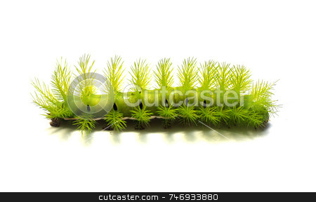 Scary Green Caterpillar stock photo, A creepy and spiky green caterpillar. by Daniel Wiedemann