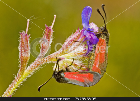 Butterflies stock photo, Close up on two butterflies in the field by Kobby Dagan