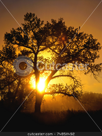 Cottonwood Sunrise stock photo, The morning sun shining through a cottonwood tree. by Mike Norton