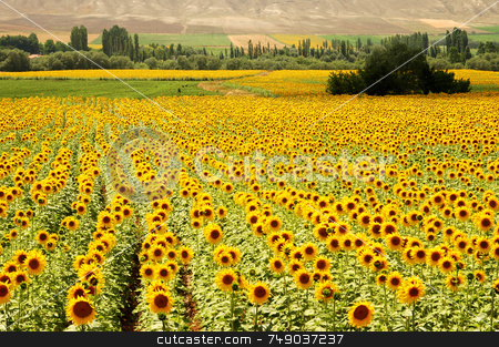 Yellow Fields stock photo, Sun flower fields in the turkish countryside by Kobby Dagan