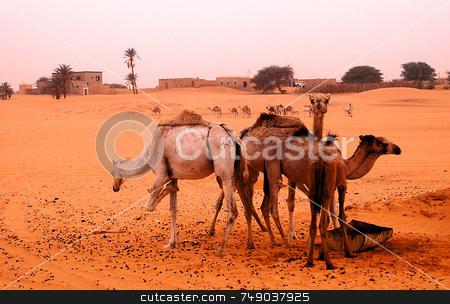 Sahara stock photo, Camels in the Sahara desert by Kobby Dagan