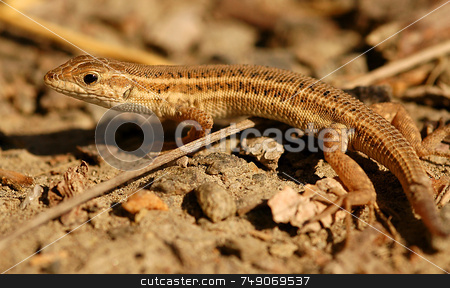 Lizard stock photo, Close up on lizard in the field by Kobby Dagan