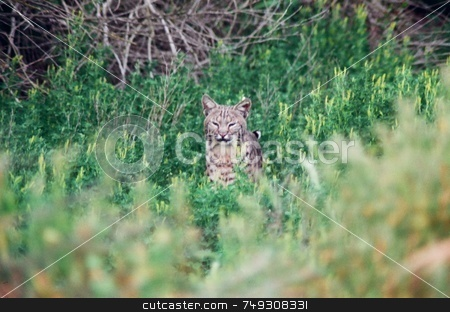 Wild bobcat stock photo, A wild bobcat hiding in the grass by Rob Wright