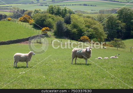 Sheep grazing in field stock photo, Sheep grazing in field in agricultural landscape, North Yorkshire National Park, England. by Martin Crowdy