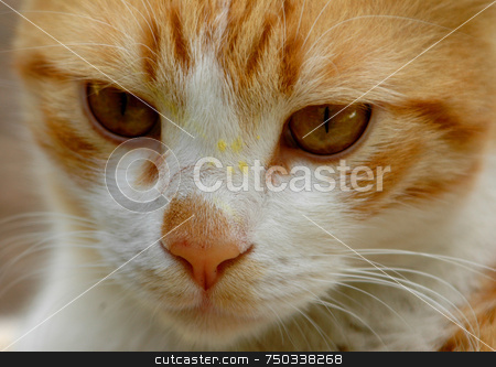 Cat stock photo, Closu up on a white orange cat face by Kobby Dagan