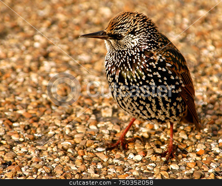 Starling stock photo, Close up on starling in London park by Kobby Dagan