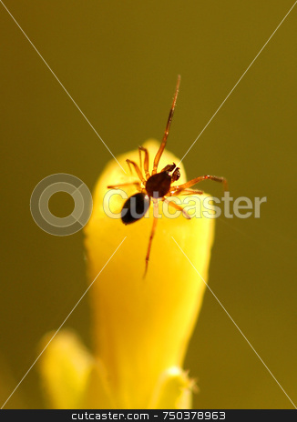 Spider stock photo, Close up on spider on yellow flower by Kobby Dagan