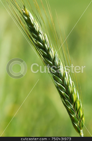 Spike of wheat in the Spring . stock photo, Spike of wheat in the Spring with the green in deep. by Inacio Pires
