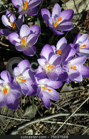 Blue Crocus stock photo, Blue crocus, blooming in a woodland setting in Spring by Tom and Beth Pulsipher