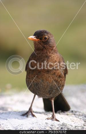 A cute blackbird stock photo, A cute blackbird by Stephen Rees