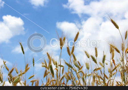 Spikes of the wheat . stock photo, Spikes of the wheat with sky with clouds in deep. by Inacio Pires
