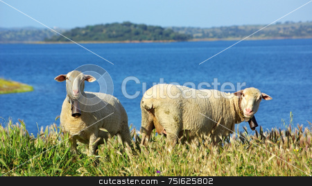 Sheep graze . stock photo, Sheep graze together to the river. by Inacio Pires