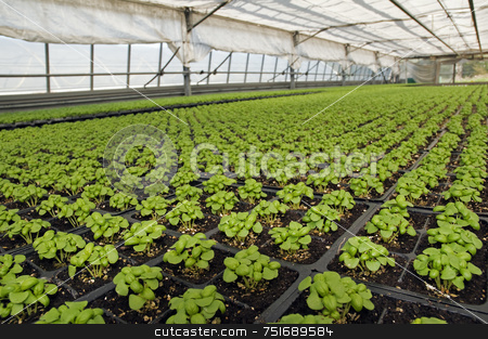 Basil stock photo, Small basil plants in a greenhouse by Massimiliano Leban