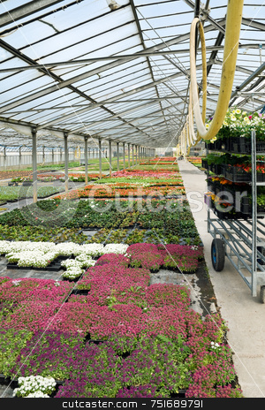 Greenhouse stock photo, Flowers in a glasshouse ready to be selled by Massimiliano Leban